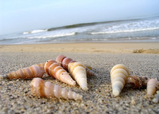 auger-shells-on-the-sand